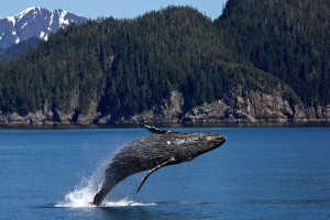 A humpback whale breaches in Kenai Fjords National Park, Alaska, USA