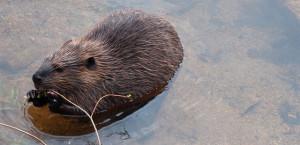Beaver photo by Jim Ecklund