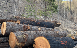 So-called hazard trees clearcut after 2020 fires
