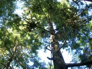 Mother tree - Short Sands, OR